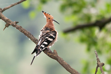 A hoopoe (Upupa epops) sitting on branch with ruffled feathers during preening
