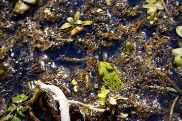 przyczajona żaba w strumyku