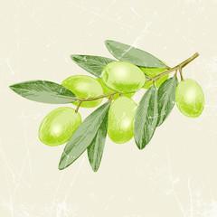 vintage image of olive branch. vector illustration