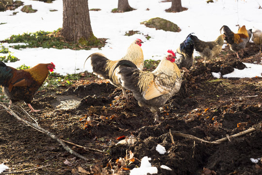 Medium group of free range chickens in snowy landscape