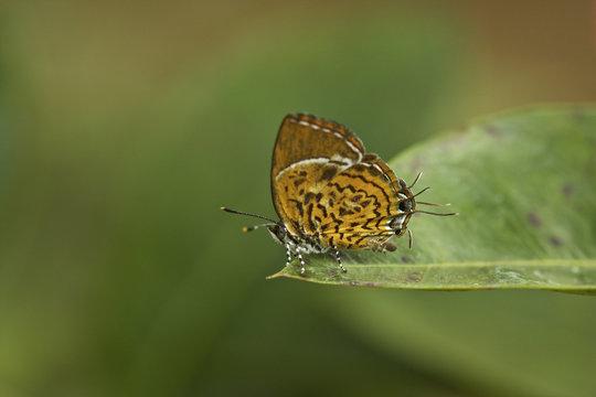 Monkey puzzle butterfly (Rathinda amor), Kerala, India
