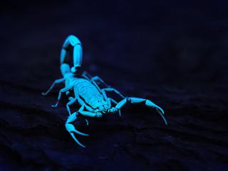 Bright blue scorpion Centruroides gracilis glowing under UV ligh