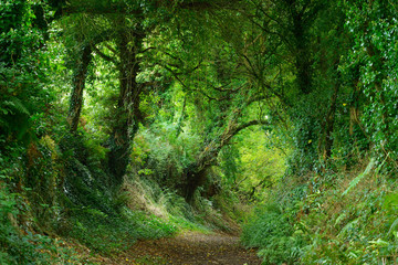 Footpath in a green oak tree tunnel in Brittany, France