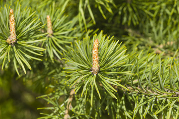 Young pine, pinus, shoots macro, selective focus, shallow DOF