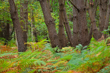 Deciduous autumn oak forest with ferns