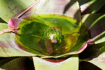 Close photo of Bromelia. Macro Bromeliaceae, green leaves with water