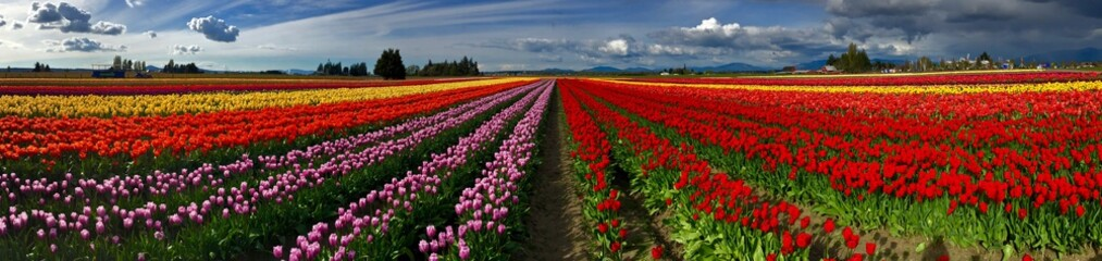 Foto op Plexiglas Rood paars Colorful Panorama of Tulip Fields and Sky with Clouds. Scagit Valley Tulip Festival, Mount Vernon, Washington State, USA.