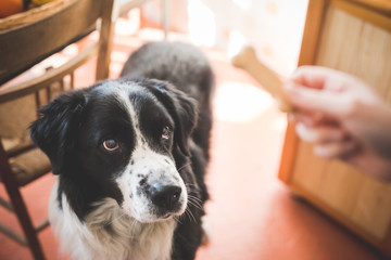 Portrait of dog staring at owners hand and dog biscuit