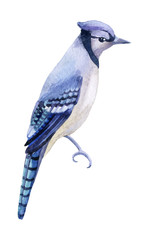 Blue jay isolated on a white background.