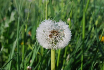 Blowball (the downy head or pappus of the dandelion) with dew, early morning. Springtime.