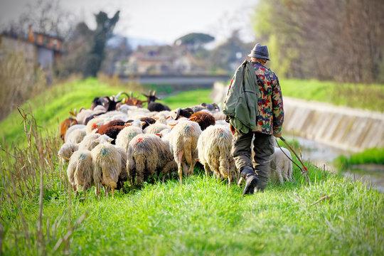Tuscan shepherd grazing with sheep