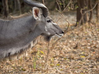 antilope maschio