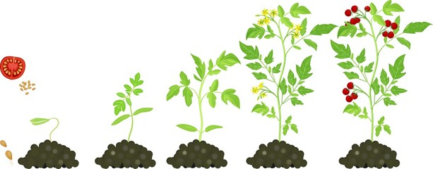 Germination on Plant Life Cycle Clip Art