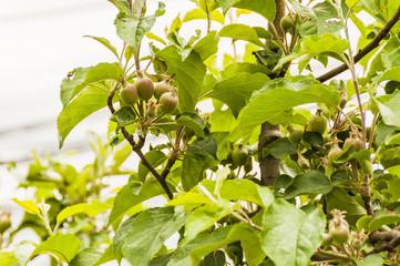 Algund, Algunder Waalweg, Waalweg, Obstbauer, Apfelbaum, Apfelblüte, Obstplantage, Vinschgau, Südtiorl, Italien, Frühling, Wanderweg