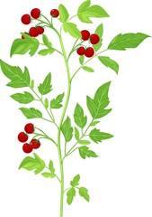 Cherry tomatoes on plant