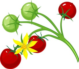 Cherry tomatoes and flower tomato on the vine