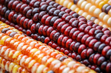 Flint Indian Corn Close-Up Picture