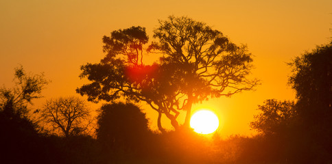 Wall Mural - Tree at Sunset in Botswana. Okavango Delta. Africa