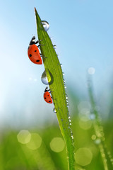 Wall Mural - Fresh morning dew on green grass and ladybirds. Natural background.
