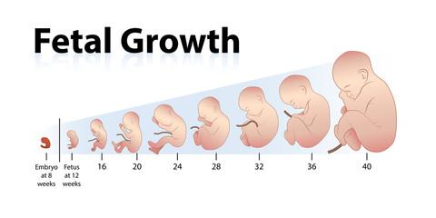 Your Pregnancy Week by Week: Weeks 35-40 - webmd.com
