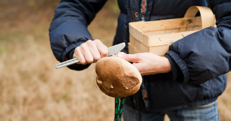 wild food foraging  - picking up porcini mushrooms