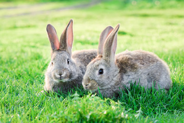 two grey rabbits in green grass outdoor Wall mural