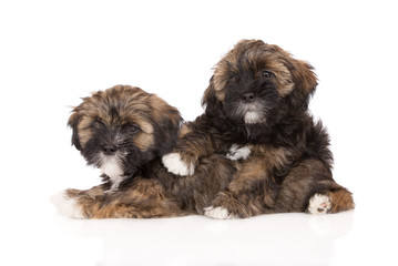 two brown lhasa apso puppies on white together