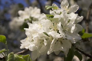 Apple tree in blossom. flowers of Apple tree.