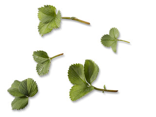 Strawberry leafs