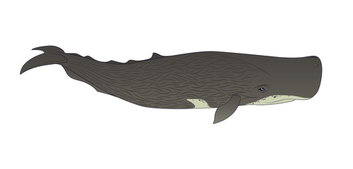 Cachalot or sperm whale on a white background.