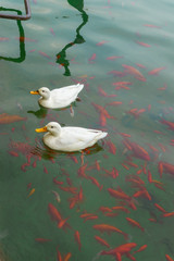 Ducks and red fishes