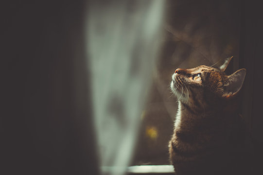 the dreamer: a portrait of tabby cat  by the window