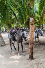 Tayrona National Park, Colombia. Horeses are used for carrying tourists.