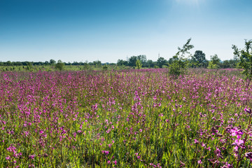 Вид на поле с гвоздикой