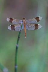Dragonfly sits on the stem of horsetail