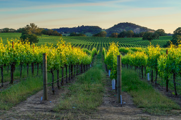 Fotobehang Wijngaard Sunset in the vineyards of Sonoma