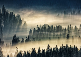 Tuinposter Ochtendstond met mist coniferous forest in foggy mountains