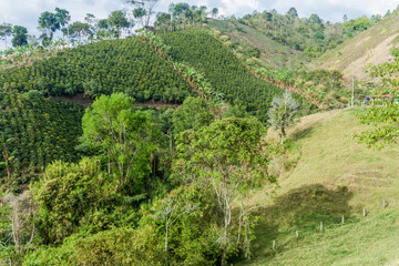 Coffee plantation near Salento, Colombia