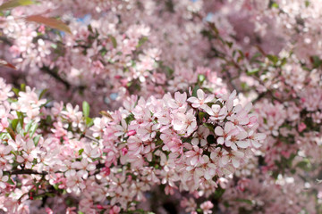 Sea of pink flowers/background with a lot of pink flowers in the spring fruit tree