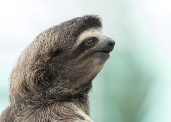 Closeup of a Three-toed Sloth - Panama