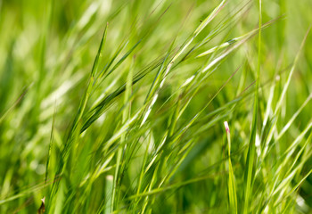 green grass with ears on nature
