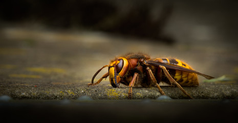 European Hornet Vespa crabro (Linnaeus)