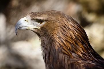 Tawny Eagle (Aquila rapax)