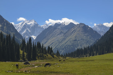 Herd of horses grazing in picturesque mountains in Tian Shan mountain, Karakol, Kyrgyzstan, Central Asia. Horses grazing on sunny meadow in the valley Jety-Oguz