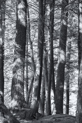 spring forest in black and white