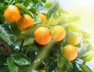 Ripe tangerine fruits in the sunlight.