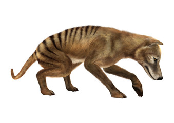3D Rendering Thylacine on White