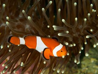 Striped orange white and black nemo clown fish