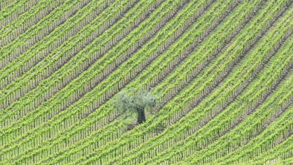 vineyards of montepulciano d'Abruzzo