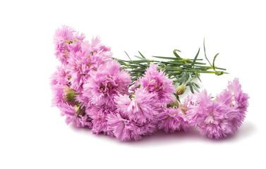 purple carnation isolated